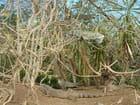 Arbre aux iguanes