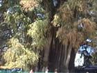 arbre de Thulé