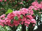 Arbre fleurs rose