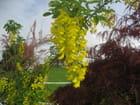 Arbres à grappes jaunes