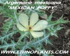 argemone mexicana
