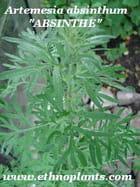 Absinthe plante a vendre