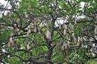 Arvore das Salsichas ( Kigelia Africana )