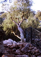 Árvore do paraíso