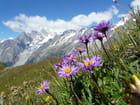 Aster des Alpes