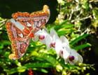 Attacus Atlas et orchidée