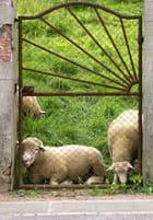 Attention au mouton