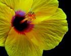 au coeur de la fleur d'hibiscus