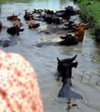 Au gué les vaches .....