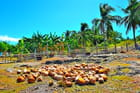 Au royaume des cocotiers