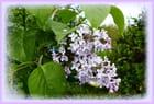 Avant de continuer avec Rome, je vous offre cette branche de lilas de mon jardin