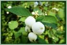 Baies blanches de la symphorine (arbre à perles)