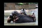Bain et soins des éléphants
