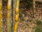 Bambou encore