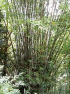Bambous (4)