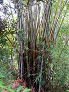 Bambous (6)