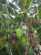 Bananier en fleur