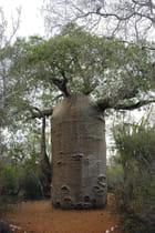 Baobab-cafetière