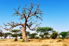Baobab sur fond d'acacias