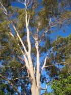 Barbara's Gum Tree