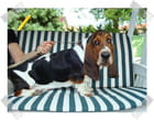 Basset-hound 5 mois