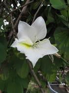 Bauhinia blanche