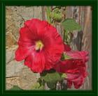 Beau coloris pour cette rose trémière