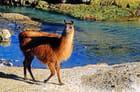 Beau lama dans beau décor
