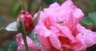 beauté de pluie
