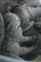 Bébé Chartreux, 13ème jour