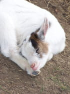Bébé chèvre