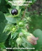 plante de Belladone ou Atropa belladonna