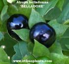 Belladone, Atropa belladonna