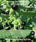 Belladone Atropa belladonna