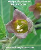 Belladone graines,  Atropa belladonna