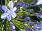 Belle fleur de Bretagne