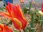 Belle tulipe et ses gouttes