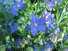 Belles bleues