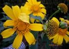 Belles fleurs de Lubumbashi