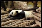 bienvenue aux pandas du zoo de Beauval !!!