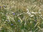 Blé en fleur