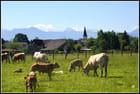 Blondes d'aquitaine en Béarn...