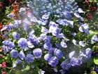 Bonjour les violettes