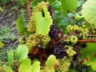 Bons raisins,  et d'autres pourris