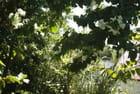 bougainvillier blanc