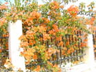 Bougainvillier orange