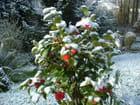 bouquet de camélias recouvert de neige printanière!!