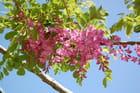 Bouquet de glycine