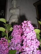 Bouquet de lilas mauve