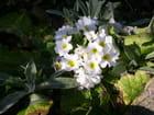 Bouquet de primevères